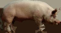 , Типы свиней