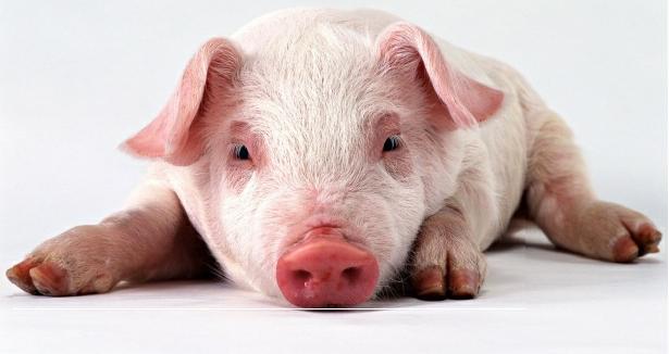, Оценка свиней