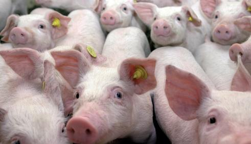 , Продажа свиней