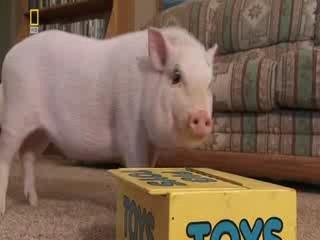 , К чему снятся свиньи