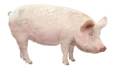 , Как разводить свиней?