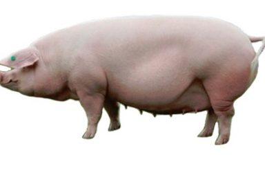 , Транспортировка свиней