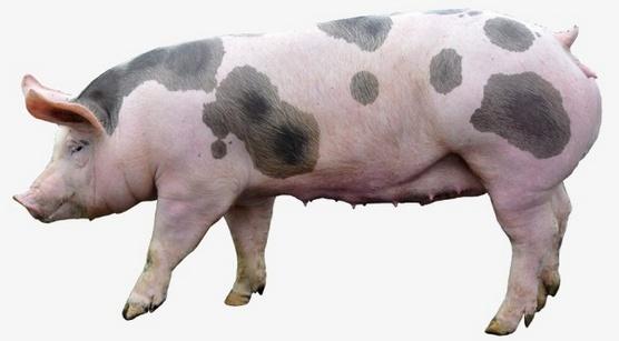 Процесс забоя свиньи в фотографиях