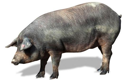 Процесс забоя свиньи