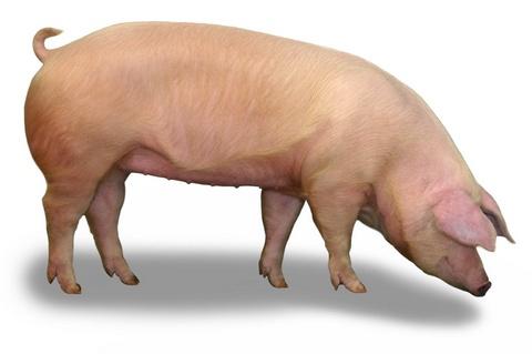Как колят свинью : Как правильно зарезать поросёнка