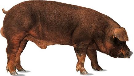 Как разделать тушу свиньи правильно