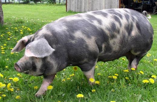 Как забить свинью?