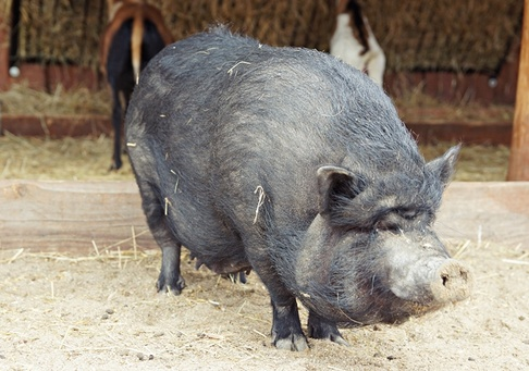 Убой свиней или как правильно зарезать свинью по технологии