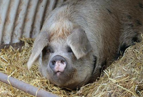 Как зарезать свинью не зделав ей больно?