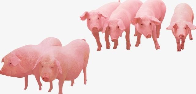 Подготовка свиньи и места для забоя