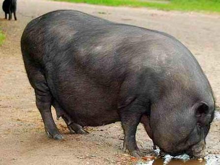 Как зарезать свинью, технология убоя и разделки туши