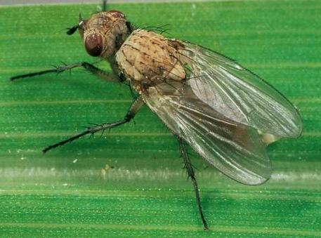 , Луковая муха: методы борьбы