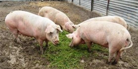 Технология убоя свиньи