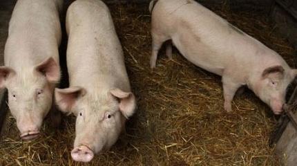 Убой свиней или как правильно зарезать свинью